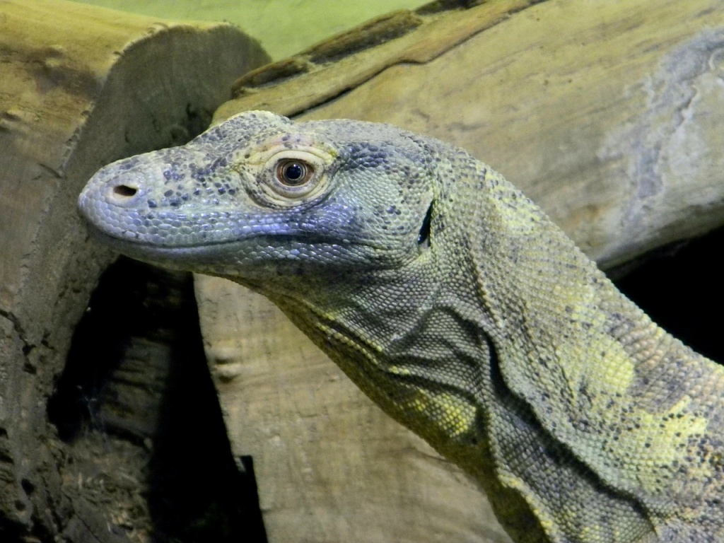 indonesia komodo dragon